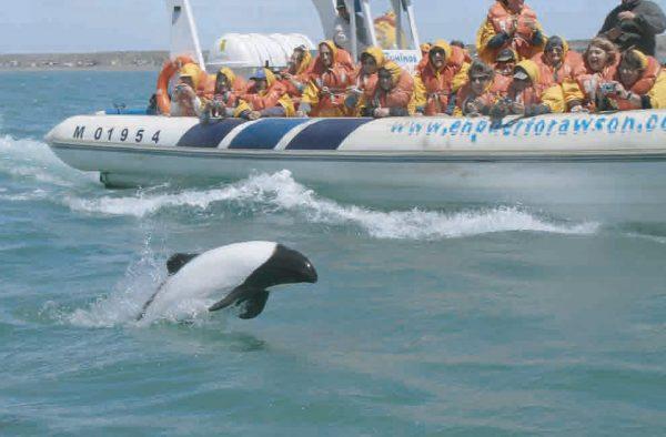 Avistaje de delfin overo en Chubut, Puerto Madryn