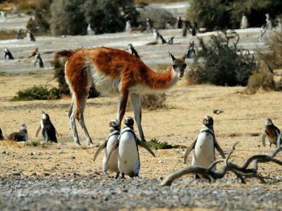 Fauna en Punta Tombo