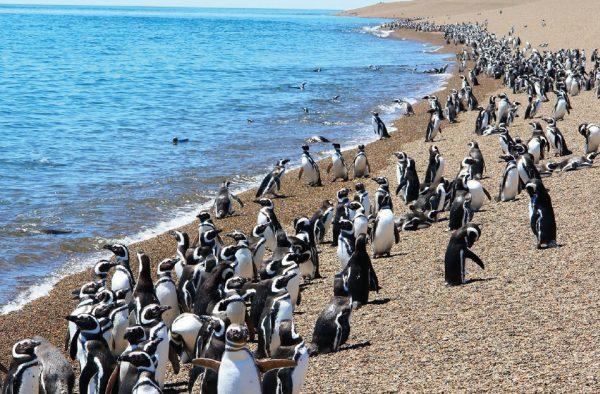 Pinguinos en Peninsula Valdes